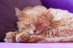 Rosa katt sovande Arkivfoto