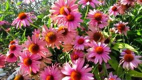 Rosa Kegel-Blumen stock video
