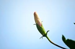 Rosa kines steg (den Chaba) blomningen Arkivfoton