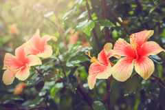 Rosa kinesisk hibiskus, hibiskus rosa Royaltyfria Bilder