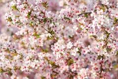 Rosa Kirschbaum blüht im Frühjahr Stockfotos