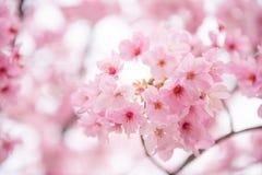 Rosa Kirschblüte stockfotos