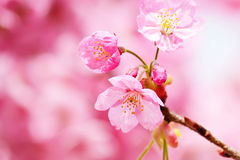 Rosa Kirschblüte #3 stockfoto