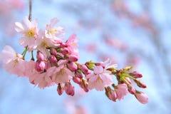 Rosa Kirschblüte auf blauem Hintergrund lizenzfreies stockbild