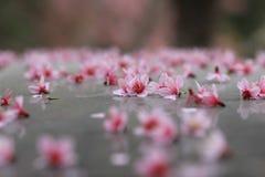 Rosa Kirschblüte auf dem Boden Lizenzfreie Stockfotos