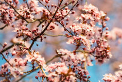 Rosa Kirschblüte-Baumblüte im Sonnenlicht mit Weichzeichnung lizenzfreie stockfotos