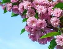 Rosa Kirschblüte blüht auf einem Hintergrund des blauen Himmels Stockfotos