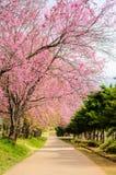 Rosa Kirschblüte blüht Baum im Park von Chiang Mai, Thailand Lizenzfreie Stockfotos