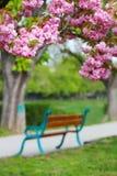 Rosa Kirschblüte-Blüte in Uzhgorod, Ukraine Lizenzfreie Stockbilder