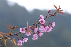 Rosa Kirschblüte-Blüten Stockbild