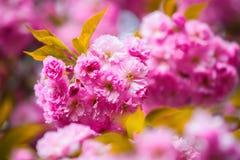 Rosa Kirschblüte-Blumen und große grüne Blätter Stockfoto