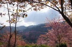Rosa Kirschblüte ein Thailand-Berge Lizenzfreies Stockfoto