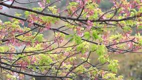 Rosa Kirschblüte, japanische blühende Kirsche auf dem Kirschblüte-Baum Kirschblüte-Blumen sind Vertreter japanischen f stock video