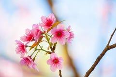 Rosa Kirschblüte Kirschblüte lizenzfreies stockbild
