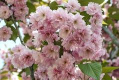 Rosa Kirschblüte-Kirsche blüht Blüte Stockbilder