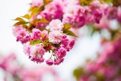 Rosa Kirschblüte mit Grün- und Gelbblättern Lizenzfreies Stockbild