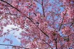 Rosa Kirschblüte an Thailand-Bergen Stockfoto
