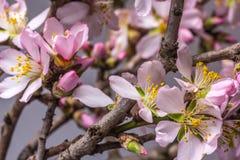 Rosa Kirschblüte in voller Blüte Stockfotos