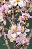 Rosa Kirschblüte in voller Blüte Lizenzfreies Stockfoto