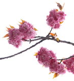 Rosa Kirschblüten Stockfoto