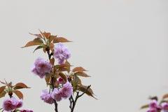 Rosa Kirschblüten in der Ecke der untereren Linke des Bildes Stockfotografie