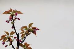 Rosa Kirschblüten in der Ecke der untereren Linke des Bildes Lizenzfreies Stockbild