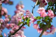 Rosa Kirschblüten und blauer Himmel Stockbilder