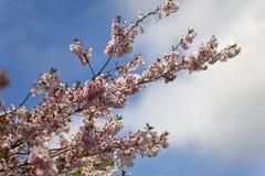 Rosa Kirschblüten in voller Blüte gegen einen blauen Himmel lizenzfreie stockfotos