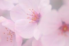 Rosa Kirschblütenblume Lizenzfreies Stockbild