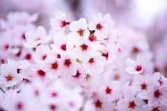 Rosa Kirschblütenblume Stockfoto