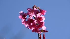 Rosa Kirschblütenblume auf Hintergrund des blauen Himmels stock video footage