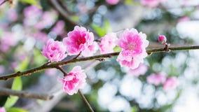 Rosa Kirschblütenblumen Lizenzfreie Stockfotografie