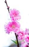 Rosa Kirschblütenblumen Lizenzfreie Stockbilder