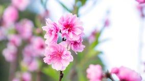 Rosa Kirschblütenblumen Lizenzfreies Stockfoto