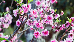 Rosa Kirschblütenblumen Stockbild