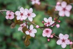 Rosa Kirschblütennahaufnahme lizenzfreie stockfotografie