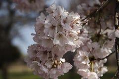 Rosa Kirschblumen verzweigen sich lizenzfreie stockfotografie