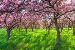 Rosa Kirscheblumen-Blüte Lizenzfreies Stockbild