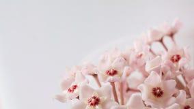 Rosa kleine Blumen des Efeus Stockfotos