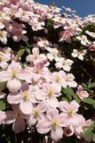 Rosa Klematis ` Montana-`, Blumen in voller Blüte lizenzfreie stockbilder