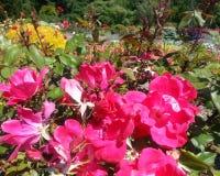 Rosa Knockout com fundo colorido do jardim Fotografia de Stock Royalty Free