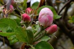 Rosa knoppar Royaltyfria Bilder