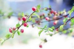 Rosa knoppar av små blommor Arkivfoto