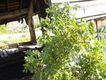 Rosa knoppar upp nära siktsladugårdträ 1 arkivfoton