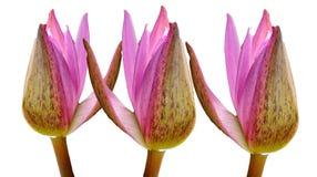 Rosa knoppblomma för lotusblomma som tre isoleras på vita bakgrunder, näckros arkivfoto