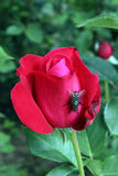Rosa konta Royaltyfria Foton