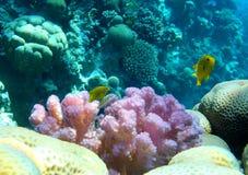Rosa korall- och jellowfisk Arkivfoto
