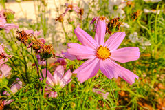 Rosa Kosmeya blommor Royaltyfria Foton