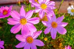 Rosa Kosmeya blommor Arkivfoto