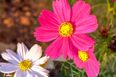Rosa Kosmeya blommor Royaltyfri Bild